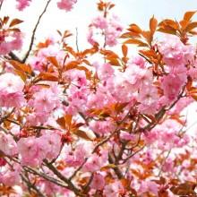 美の山桜・イモセ