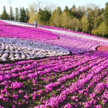 羊山公園・芝桜の丘