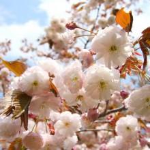 美の山桜・バイゴジジュズカケザクラ