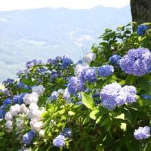 美の山アジサイ