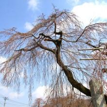 長瀞町法善寺しだれ桜