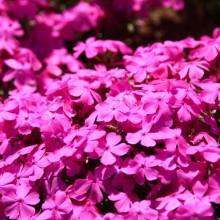 芝桜の丘 09