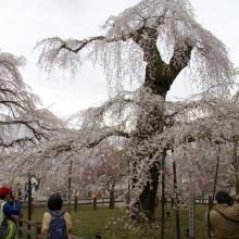 清雲寺のしだれ桜(秩父市)