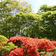 美の山公園ヤマツツジ
