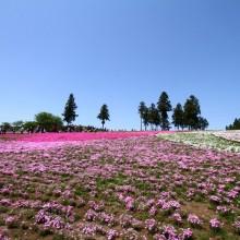 芝桜の丘 06