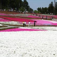 芝桜の丘 10