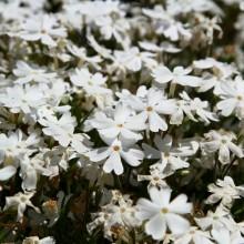 芝桜の丘 11
