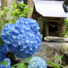 金沢浦山アジサイ