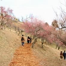 宝登山ロウバイ園 梅園 10