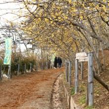 宝登山ロウバイ園 梅園 04