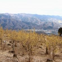 宝登山ロウバイ園 梅園 08