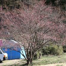 道光寺の桜