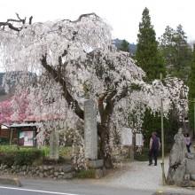 法善寺枝しだれ桜