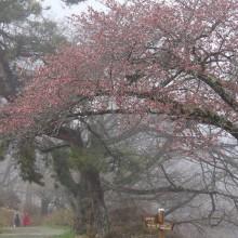 美の山公園桜