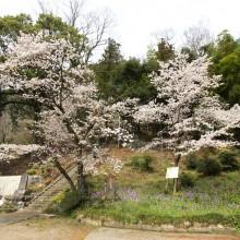 瑞岩寺・桜