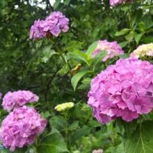 花の里 アジサイ
