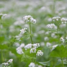 荒川 花見の里ちちぶ そばの花