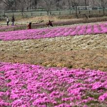 芝桜の丘 02
