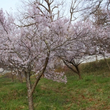 ちっちゃな桜のトンネル・桜開花情報