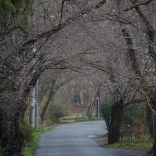南桜通り・桜開花情報