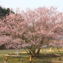 道光寺の岩田桜・桜開花情報