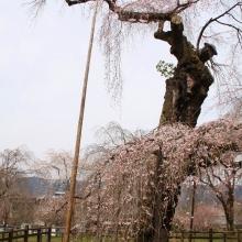 清雲寺しだれ桜・桜開花情報