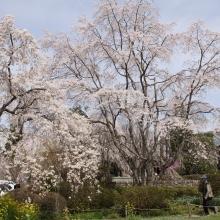 大手の桜・桜開花情報