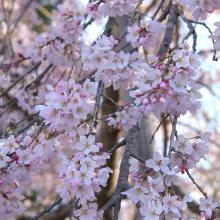 法善寺のしだれ桜・桜開花情報
