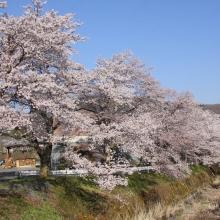 井戸の桜並木・桜開花情報(長瀞町井戸)