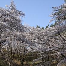 野土山・桜開花情報