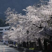 宝登山参道・桜開花情報(長瀞町)