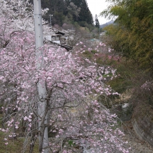 長留のしだれ桜