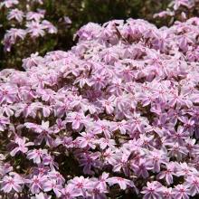 芝桜の丘開花情報