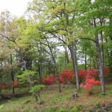 蓬莱島公園ヤマツツジ