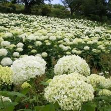 花の里アナベル