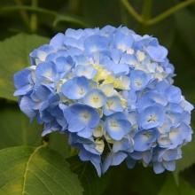 花の里アジサイ
