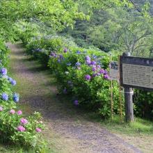 美の山公園アジサイ画像
