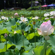 花ハス園の画像