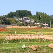 寺坂棚田彼岸花の画像