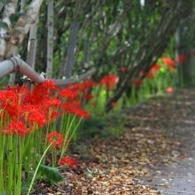 ムクゲ自然公園彼岸花の画像