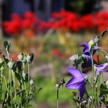 秋の七草めぐり桔梗の画像