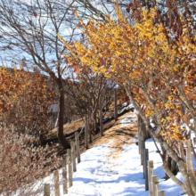 宝登山四季の丘マンサクの画像