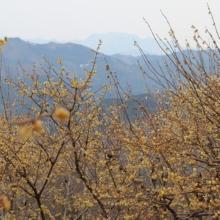 宝登山西ロウバイ園の画像