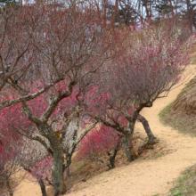宝登山梅百花園の画像