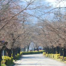 長瀞北桜通りの画像
