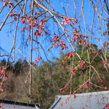 寶登山神社しだれ桜の画像