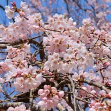 清雲寺しだれ桜見ごろの画像