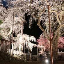 清雲寺しだれ桜ライトアップの画像