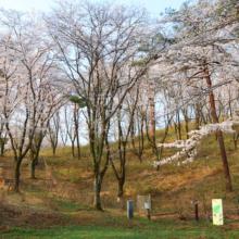 野土山桜の画像