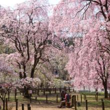 清雲寺しだれ桜の画像